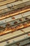 Kader van een bijenkorf Het werk bijen op honingraten met honing worden gevuld die Stock Afbeelding