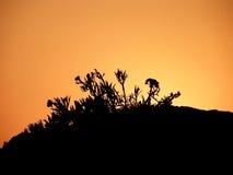 Kadulja, pianta nel tramonto Fotografia Stock Libera da Diritti