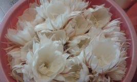 Kadupul blommor Arkivbild