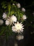 Kadupul nocy kwiat obraz stock