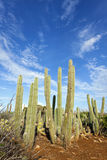 Kadushi cactus at Curacao Royalty Free Stock Photography