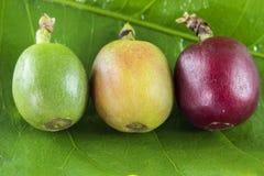 Kaffe bär frukt på olika etapper av moget på bladslutet upp Royaltyfri Foto