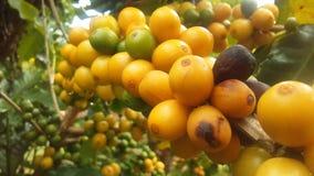 Kaffe Coffea, växt med frö som växer på den Kauai kaffekolonin på den Kauai ön, Hawaii Royaltyfria Foton