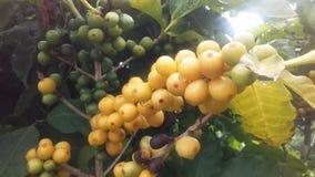 Kaffe Coffea, växt med frö som växer på den Kauai kaffekolonin på den Kauai ön, Hawaii Royaltyfria Bilder