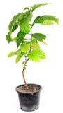 kaffe isolerad tree Royaltyfria Bilder