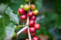 Kaffe kärnar ur på trädet Fotografering för Bildbyråer