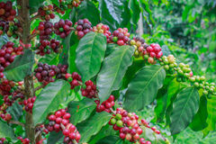 Kaffe på träd arkivbild