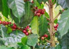 Kaffe på träd royaltyfria bilder