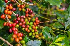 Kaffe - röda frukter fortfarande på växten. Royaltyfri Fotografi