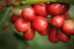 Kaffe som växer i Costa Rica Fotografering för Bildbyråer