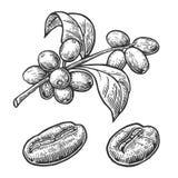 Kaffeböna, filial med bladet och bär Räcka den utdragna illustrationen för vektortappninggravyr på vit bakgrund Fotografering för Bildbyråer