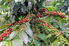Kaffeböna, kaffekörsbär eller kaffebär på kaffeträd, nära El Jardin, Antioquia, Colombia arkivbilder