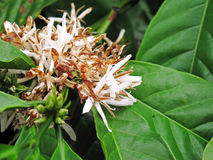 Kaffeböna på brun bakgrund Fotografering för Bildbyråer