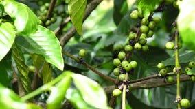 Kaffeböna på brun bakgrund arkivfilmer