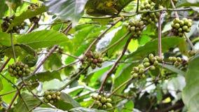 Kaffeböna på brun bakgrund stock video