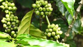 Kaffeböna på brun bakgrund lager videofilmer