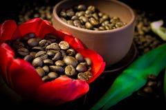Kaffebönor i den röda blomman för knopp Royaltyfria Bilder
