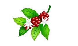 Kaffebönor med bladet och blommor stock illustrationer