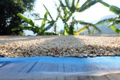 Kaffebönor på banphaheen Thailand Royaltyfri Bild