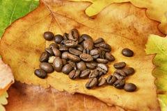 Kaffebönor på höstleaves royaltyfri foto