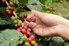 Kaffebönor på lotten Royaltyfri Foto