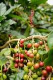 Kaffebönor på lotten Arkivfoto