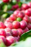 Kaffebönor på träd i Chiangmai Thailand Arkivbild