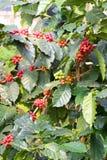 Kaffebönor på träd i Chiangmai Thailand Arkivfoton
