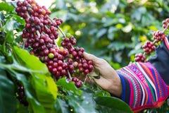 Kaffebönor på trädet som väntar på lagret för att göra en drink Arkivfoto