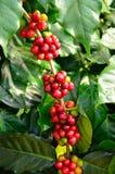Kaffebönor på tree royaltyfri foto