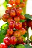 Kaffebönor som mognar på träd i nord av Thailand Arkivbilder