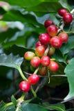 Kaffebönor som mognar på träd i nord av Thailand Arkivbild