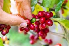 Kaffebönor som mognar på träd i nord av Thailand royaltyfri foto