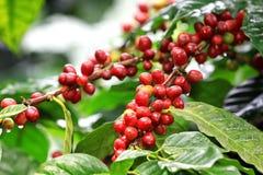 Kaffebönor som ripening på tree Royaltyfri Bild