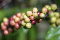 Kaffebönor som ripening på tree Fotografering för Bildbyråer