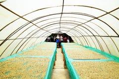 Kaffebönor som torkar i solen, Quindio, Buena Vista arkivfoton