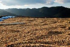 Kaffebönor som torkas i solen Arkivbild