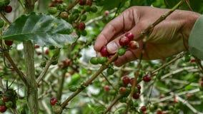 Kaffeb?nor p? tree arkivfoto