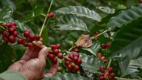 Kaffeb?nor p? tree royaltyfri bild