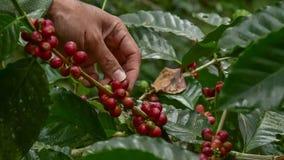 Kaffeb?nor p? tree royaltyfri fotografi