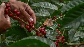 Kaffeb?nor p? tree arkivfoton