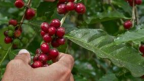 Kaffeb?nor p? tree royaltyfria foton
