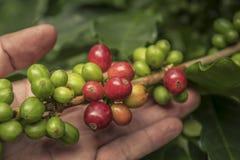 Kaffeb?nor som mognar p? tr?d i nord av Thailand ny kaffekörsbär royaltyfri fotografi