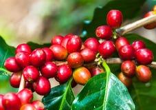 Kaffeböna på träd Arkivfoto