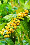 Kaffebönor på tree i lantgård Arkivfoton