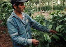 kaffebonde som kontrollerar en robusta växt på hans koloni arkivfoton
