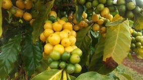 KaffeCoffeaväxt med frö som växer på den Kauai kaffekolonin på den Kauai ön, Hawaii Arkivbilder
