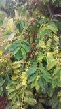 KaffeCoffeaväxt med frö som växer på den Kauai kaffekolonin på den Kauai ön, Hawaii Royaltyfri Foto