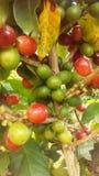 KaffeCoffeaväxt med frö som växer på den Kauai kaffekolonin på den Kauai ön, Hawaii Fotografering för Bildbyråer