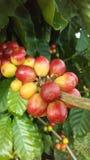 KaffeCoffeaväxt med frö som växer på den Kauai kaffekolonin på den Kauai ön, Hawaii Arkivbild